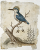 Edwards, George (1694 - 1773): The Crested Kingfisher from Johanna with vegetating wasps, dated 1761, Engraving, 25.5 x 20.3 cms.