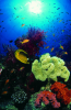 Webster, Mark (born 1955): Reef scene, cibachrome photograph, 45.7 x 30.7 cms. Presented by M. Webster in 2002.