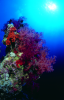Webster, Mark (born 1955): Soft corals, cibachrome photograph, 45.7 x 30.7 cms. Presented by M. Webster in 2002.