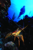 Webster, Mark (born 1955): Spiny lobster and diver, cibachrome photograph, 45.7 x 30.7 cms. Presented by M. Webster in 2002.