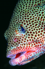 Webster, Mark (born 1955): Graysby grouper, cibachrome photograph, 45.7 x 30.7 cms. Presented by Webster, Mark.