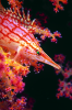 Webster, Mark (born 1955): Long nosed hawkfish, cibachrome photograph, 45.7 x 30.7 cms. Presented by M. Webster in 2002.