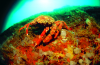 Webster, Mark (born 1955): Spider crab on reef wall, cibachrome photograph, 30.7 x 45.7 cms. Presented by Webster, Mark.