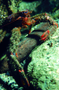 Webster, Mark (born 1955): Squat lobster, cibachrome photograph, 45.7 x 30.7 cms. Presented by Webster, Mark.