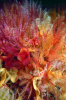 Webster, Mark (born 1955): Feather stars and Ross coral, cibachrome photograph, 45.7 x 30.7 cms. Presented by Webster, Mark.