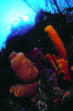 Webster, Mark (born 1955): Tube sponges on reef wall, cibachrome photograph, 45.7 x 30.7 cms. Presented by Webster, Mark.