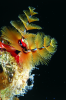 Webster, Mark (born 1955): Christmas tree worms, cibachrome photograph, 45.7 x 30.7 cms. Presented by Webster, Mark.