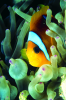 Webster, Mark (born 1955): Clown fish, cibachrome photograph, 45.7 x 30.7 cms. Presented by M. Webster in 2002.