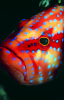 Webster, Mark (born 1955): Coral trout, cibachrome photograph, 45.7 x 30.7 cms. Presented by M. Webster in 2002.