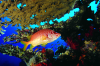 Webster, Mark (born 1955): Soldier Fish under table coral, cibachrome photograph, 30.7 x 45.7 cms. Presented by Webster, Mark.
