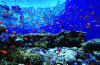 Webster, Mark (born 1955): Anthias on reef top, cibachrome photograph, 30.7 x 45.7 cms. Presented by M. Webster in 2002.