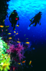 Webster, Mark (born 1955): Divers on reef wall, cibachrome photograph, 45.7 x 30.7 cms. Presented by M. Webster in 2002.