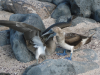 Fagin, Kate (1948-2012): Juvenile blue-footed booby (left) stimulating mother to regurgitate fish, photograph, 30 x 42 cms. Presented by the artist as part of the Heritage Lottery Fund's Darwin 200 celebrations.