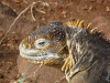 Fagin, Kate (1948-2012): Galapagos land iguana, photograph, 30 x 42 cms. Presented by the artist as part of the Heritage Lottery Fund's Darwin 200 celebrations.