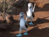 Fagin, Kate (1948-2012): Blue-footed boobies - courtship dance, photograph, 30 x 42 cms. Presented by the artist as part of the Heritage Lottery Fund's Darwin 200 celebrations.