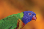 Turton, Michelle: Swainson lorikeet, photograph, 29.5 x 42 cms. Presented by the artist as part of the Heritage Lottery Fund's Darwin 200 celebrations.