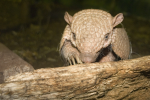 Turton, Michelle: Armadillo, Newquay Zoo, photograph, 21.5 x 30 cms. Presented by the artist as part of the Heritage Lottery Fund's Darwin 200 celebrations.
