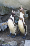 Turton, Michelle: Penguins calling, Newquay Zoo, photograph, 29.5 x 21 cms. Presented by the artist as part of the Heritage Lottery Fund's Darwin 200 celebrations.