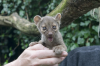 Turton, Michelle: Fossa cub, Newquay Zoo, photograph, x cms. Presented by the artist as part of the Heritage Lottery Fund's Darwin 200 celebrations.