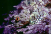 Webster, Mark (born 1955): Long-spined scorpion fish, Prussia Cove, Mounts Bay, photograph, 40.7 x 56 cms. Presented by the artist as part of the Heritage Lottery Fund's Darwin 200 celebrations.