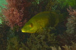 Webster, Mark (born 1955): Ballan Wrasse, Pendennis Point, Falmouth, photograph, 42 x 56.5 cms. Presented by the artist as part of the Heritage Lottery Fund's Darwin 200 celebrations.