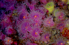 Webster, Mark (born 1955): Jewel anemones, Falmouth Bay, photograph, 40 x 56 cms. Presented by the artist as part of the Heritage Lottery Fund's Darwin 200 celebrations.