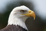 Hales, Alison: Bald eagle 'Archie' at Paradise Park, Cornwall, photograph. Presented by the artist as part of the Heritage Lottery Fund's Darwin 200 celebrations.