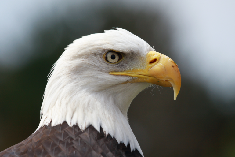 the bald eagle community