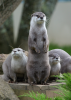 Hales, Alison: Asian Otters at Paradise Park, Cornwall, photograph. Presented by the artist as part of the Heritage Lottery Fund's Darwin 200 celebrations.