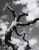 Chipman, Ian (1916-2005): Dead tree, 1949, dated 1949, photograph, 38.5 x 30.5 cms.