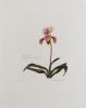 Blackadder, Dame Elizabeth Violet DBE RA RSA (born 1931): Orchidacae Paphiopedilum Insigne Hybrid, signed, etching ( 25 of an edition of 40), 63 x 50.5 cms. © Browse and Darby.