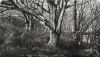 Howard, John RBSA (born 1958): Woods, Pennance Point, Cornwall, signed and dated 2011, etching and aquatint (2 of an edition of 35), 38 x 53 cms. Presented by Howard, John.