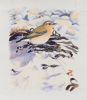 Allen, Richard (born 1964): Wheatear, Mersea, signed and dated 2008, watercolour on paper, 20 x 23 cms. Presented by Priseman, Robert. © Richard Allen.