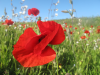 Fagin, Anthony (born 1938): Flamenco poppy - West Pentire, photograph, 29.7 x 42 cms. Presented by Fagin, Anthony.