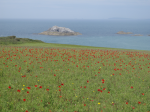 Fagin, Anthony (born 1938): Poppyfield - West Pentire, photograph, 29.7 x 42 cms. Presented by Fagin, Anthony.